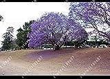 100 semi pezzi Paulownia imperatrice albero fiore romantico grande aroma rapida crescita albero per la decorazione domestica