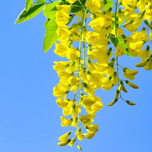 Alpengoldregen – Laburnum alpinum – Samen