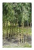 Chusquea culeou - winterharter Bambus - 15 Samen