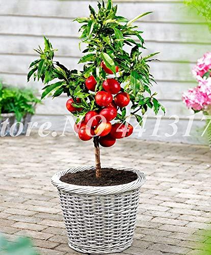 Pinkdose 10 Stücke Süße Pfirsichpflanze China Nektarine Peach Outdoor Baum Zwerg Bonanza Pfirsiche Bonsai Obst Für Hausgarten Blumenpflanzen: 1 stücke