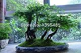 Shopmeeko 10 piezas de la planta de Bonsai del bosque de Redwood Dawn - Ãrbol Bonsai - glyptostroboides de Metasequoia