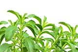 Stevia zum selber pflanzen/frisches Saatgut/ca. 100 Samen/der natürliche Zuckerersatz/für Garten oder zur Aussaat im Kräutertopf
