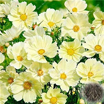 100 PC/Beutel Cosmos Perennial Blumen Bonsai Gepflanzt für Hausgarten Sehr leicht Indoor Bonsai-Topf-Pflanzer wachsen: 22 (Leichte Indoor-pflanzer)