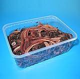Wurmhandel Angelwurm - Tauwürmer - Riesenköder für Aal und Waller - 50 Stück in BigBox