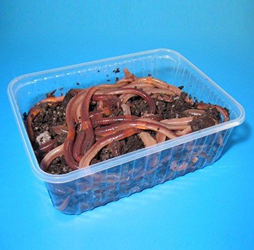 Angelwurm - Tauwürmer - Riesenköder für Aal und Waller - 50 Stück in BigBox