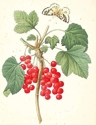 JH Lacrocon Pierre-Joseph Redoute - Ribes Rubrum Red Currant Leinwandbilder Reproduktionen Gerollte 40X50 cm - Früchte Gemälde Gedruckt Wandkunst
