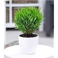 BALDUR-Garten Zimmerbambus, 1 Pflanze Zimmerpflanze Pogonatherum paniceum Monica