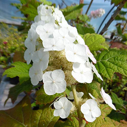 Hydrangea Quercifolia Snow Queen (= 'Flemygea')- Hortensia à feuilles de chêne 'Snow Queen' 30-40 cm en conteneur