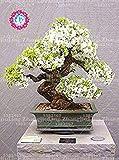 10pcs seltene weiße Jasmin Samen Jasmin Pflanze Kletterpflanzen Blumensamen Bonsai Samen reinen Gartenblumen Samen Outdoor-Anlage