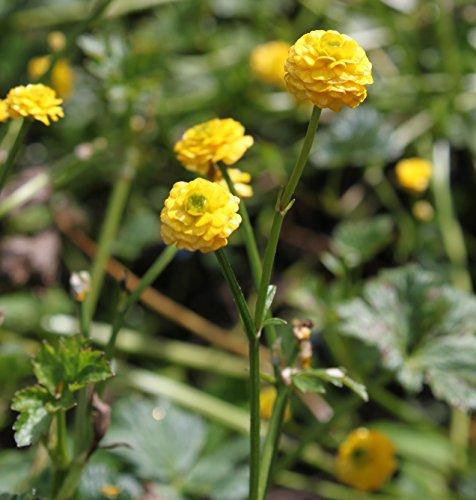 Wasserpflanzen Wolff - Ranunculus acris 'Multiplex' - gefüllter, scharfer Hahnenfuß - Goldranunkel