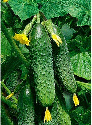 Graines de légumes Concombre Masha F1 à haut rendement NON-OGM hybride