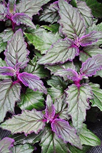 Palmenmann Samtpflanze - Gynura scandens