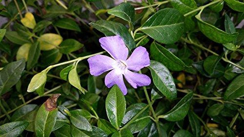 Immergrün Blüten: unverwüstlich,