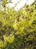 gelbblühende Zaubernuss Hamamelis intermedia Westerstede 80 - 100 cm hoch im 5 Liter Pflanzcontainer