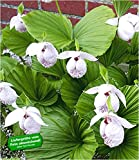 BALDUR-Garten Freiland-Orchideen 'Formosana', 1 Pflanze, Cypripedium japonicum var. formosanum