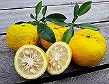 5 Samen Citrus junos, Yuzu Zitrone, bis -15°C Citrus ichangensis C. reticulata
