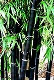 Best Graines noires Huiles - 2018Hot vente Rare Graines de bambou Noir Review