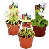 Set inicial de la planta carnívora - 3 plantas