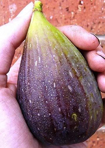 Canning Pot (Magnolia Brunsk Essbare Ficus carica Canning 2.5