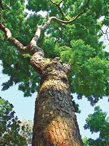 PLAT FIRM GERMINATIONSAMEN: 100 Samen: China duftend Palisander (Dalbergia odorifera T. Chen) gelb Palisander Baum Samen