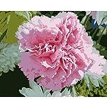 OKOUNOKO Malen Nach Zahlen Für Kinder Rosa Gartennelken-Blumen, Die Durch Zahlen Malen Handfarben-Acrylbild, Das Durch Zahlen Auf Segeltuchgeschenk Für Mutter Färbt Rahmenlos 40X50Cm