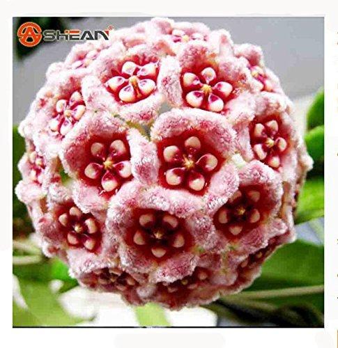21 Couleur Disponible Rare Boule Fleur d'orchidée Graines Jardin Plante Vivace Hoya Carnosa Semences 100 pièces/Lot
