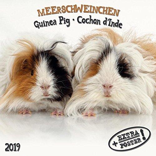 Meerschweinchen - Guinea Pig - Cochon d'Inde 2019 Artwork Edition