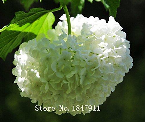 big-sale-aaa-100pc-lot-flower-seeds-purple-hydrangea-evergreen-woody-flowering-long-hydrangea