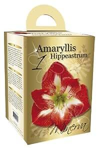 Amaryllis Gift Box Set Striped Flowering Amaryllis includes Pot/ Saucer/ Potting Compost
