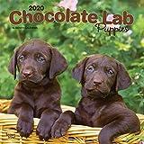 Chocolate Labrador Retriever Puppies - Braune Labradorwelpen 2020 - 16-Monatskalender mit freier DogDays-App: Original BrownTrout-Kalender [Mehrsprachig] [Kalender] (Wall-Kalender)