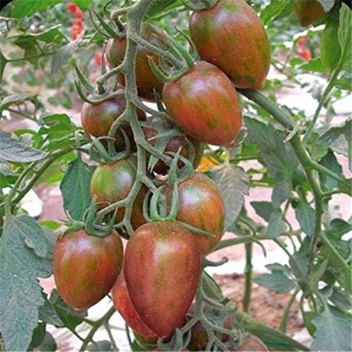 Pinkdose Fruits en pot Légumes cerises tomates bonsaï noir bonsaï princesse noire perle F1 cerise petit 200pcs: 6