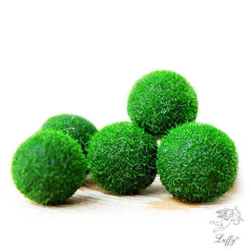 Pflanzen Für Guppys Aquarium (Marimo Mooskugel X 5 + 1 GRATIS. -live Rare einfach Decor Pflanze. Sie sind die Living Moos Ball. (Schiff von USA) nur legen Sie sie in Wasser Behälter ein, und erstellen Sie Ihre eigenen Wasser Garten.)