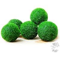 Bolas de algas Marimo, 5 unidades + 1 gratis. ¡Disfruta de plantas raras increíbles! Para regalar a un amigo, boda, recuerdo, Navidad. ¡Simplemente ponlas en una botella de cristal con agua y las verás crecer!. Para cumpleaños de hombre, mujer, adolescente, niño y bebé