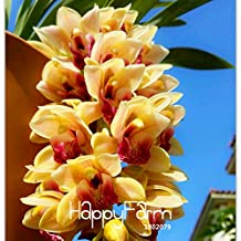 ! Mejor-venta de semillas Cymbidium Raras Amarillo Cymbidium Faberi maceta plantas de flor semillas de orquídeas - 100 PC / paquete, # 24GK4Z