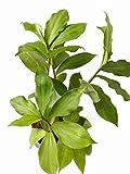 #10: PATPERT Ayurvedic Insulin Plant (Costus Igneus)