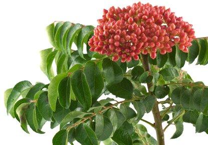 Currybaum Murraya koenigii 100 Samen SELTEN