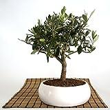 Bonsai di Olivo in ciotola bassa
