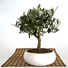 Idea Regalo - Bonsai di Olivo in ciotola bassa