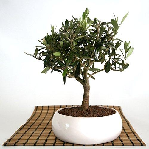 Bonsai von Olivenbaum in einer niedrige weißen Schüssel.