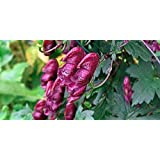 Asklepios-seeds® - 20 semillas Aconitum hemsleyanum acónito