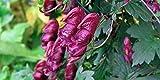 Asklepios-seeds® - 20 Samen von Aconitum hemsleyanum 'Red Wine', Weinroter Eisenhut ! Rarität!