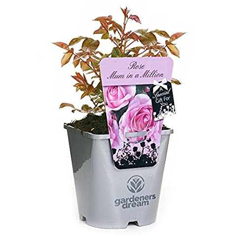 MUM IN A MILLION - GardenersDream® Potted Gift Rose Mum