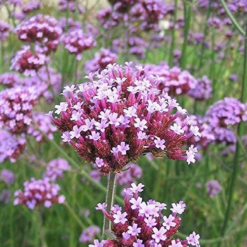 Seekay Verbena Bonariensis - Aprox 500 Semillas - Argentina Verbena, Púrpura Parte Superior
