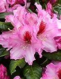 Rhododendron Hybride Diadem 40 cm hoch im 4 Liter Pflanzcontainer