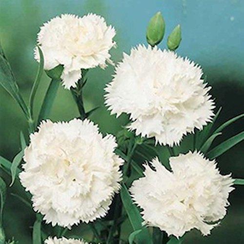 Blumensamen Weiße Nelke Rosa Grenadine Belaya (Dianthus caryophyllus) Biennial