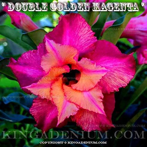 """Adenium Obesum /""""Double /& Triple Fleurs/"""" mixte//Assortiment de 100 graines Set 1"""