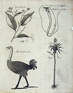 Nature de Canne À Sucre d'Autruche d'Encylclopaedia Britannica