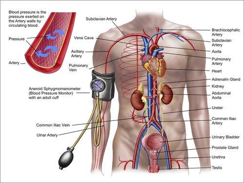 Posterlounge Acrylglasbild 40 x 30 cm: Blood Pressure and Circulatory System. von Stocktrek Images/Stocktrek Images - Wandbild, Acryl Glasbild, Druck auf Acryl Glas Bild (Glas West-systeme)