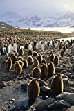 Fine Art Print – King Penguin Colony entlang eine glaziale Stream, ST ANDREWS, South Georgia Island von Bentley Global Arts Gruppe, canvas, multi, 12 x 19