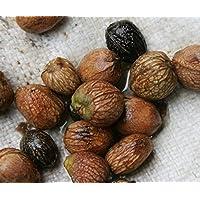 PLAT FIRM Germinación de las semillas: 10 semillas: tío CHAN * SEED Picrasma javanica Blume rara fruta a base de plantas de cocina w/arroz C767